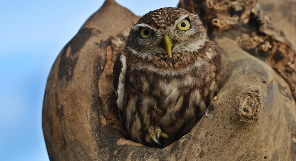 Little owl by Duckmad