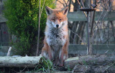 My foxy visitor by Duckmad