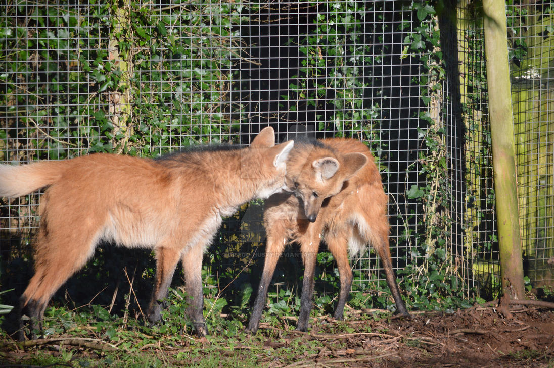 A Lot Of Maned Wolf By Loputyn Deviantart Com On: Paignton Zoo Maned Wolves By Drago-Husky On DeviantArt