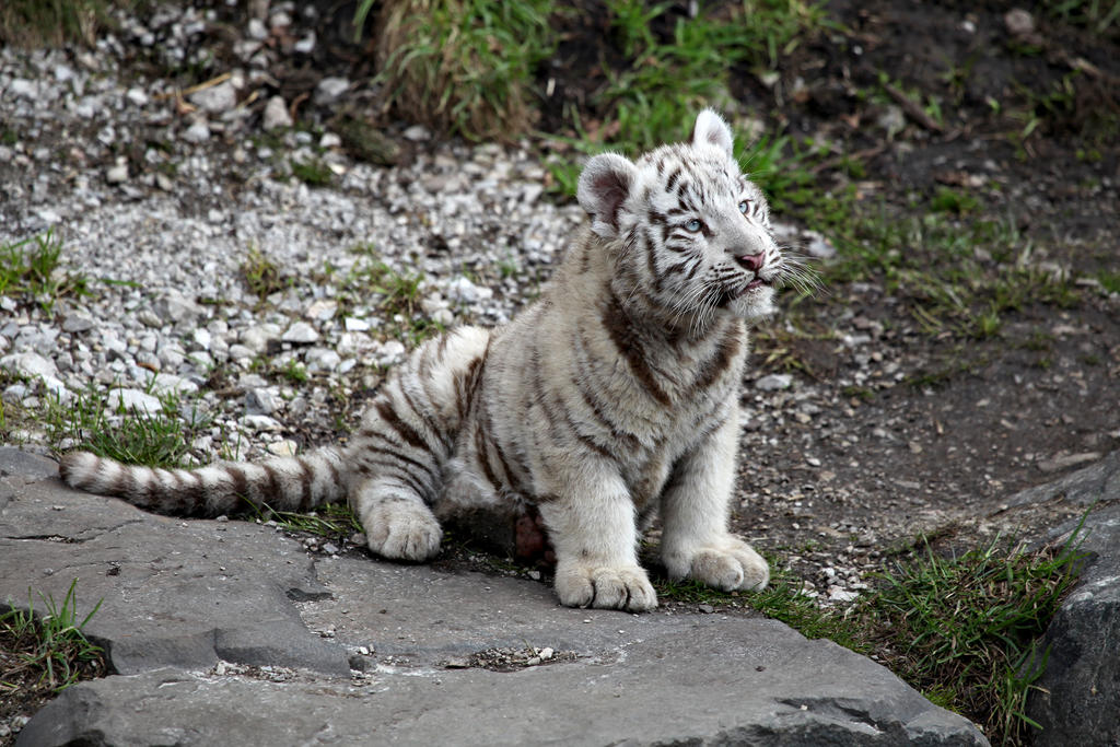 White Tiger Baby II by Vanell-Photography on DeviantArt - photo#7