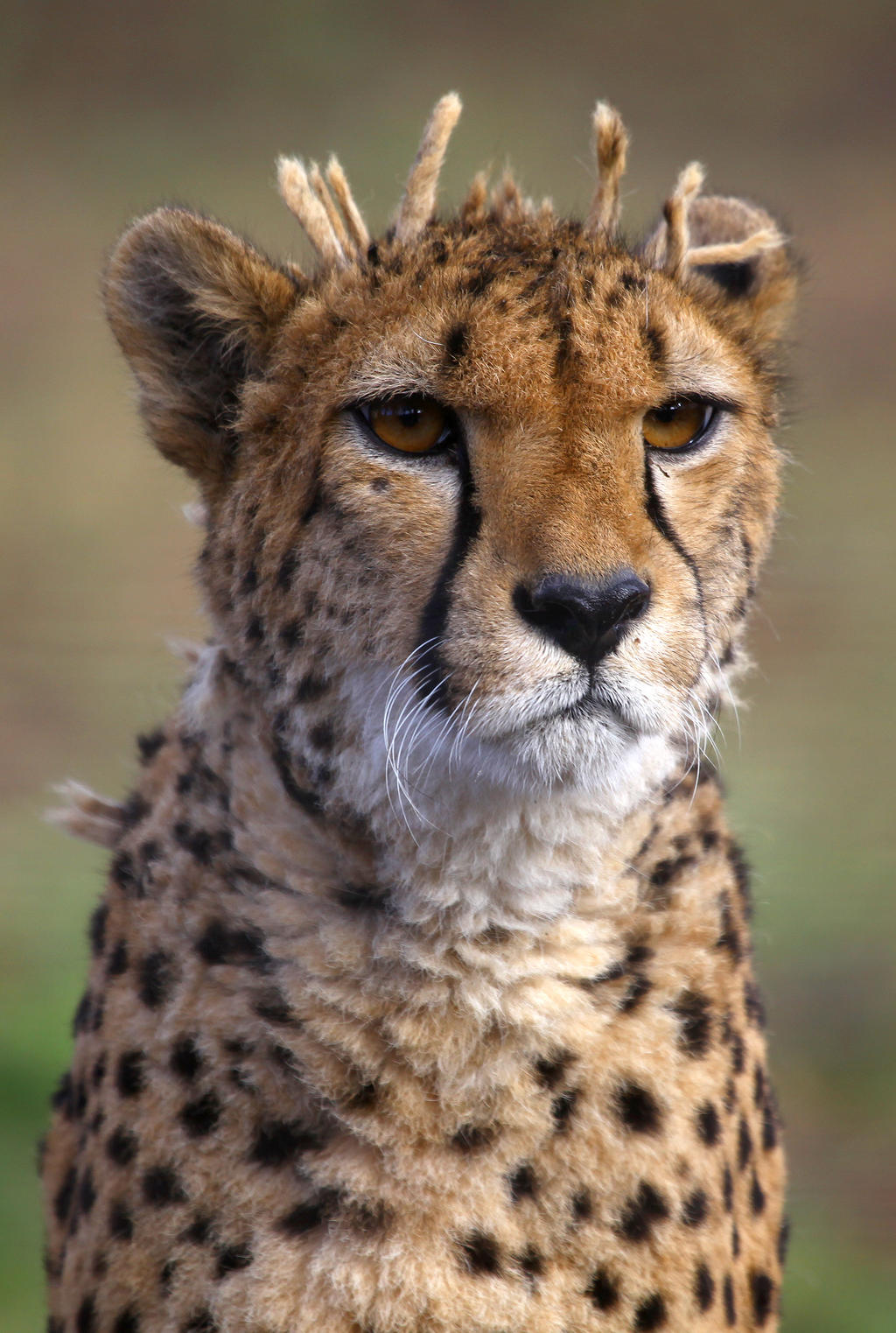 Cheetah IV by Vanell-Photography