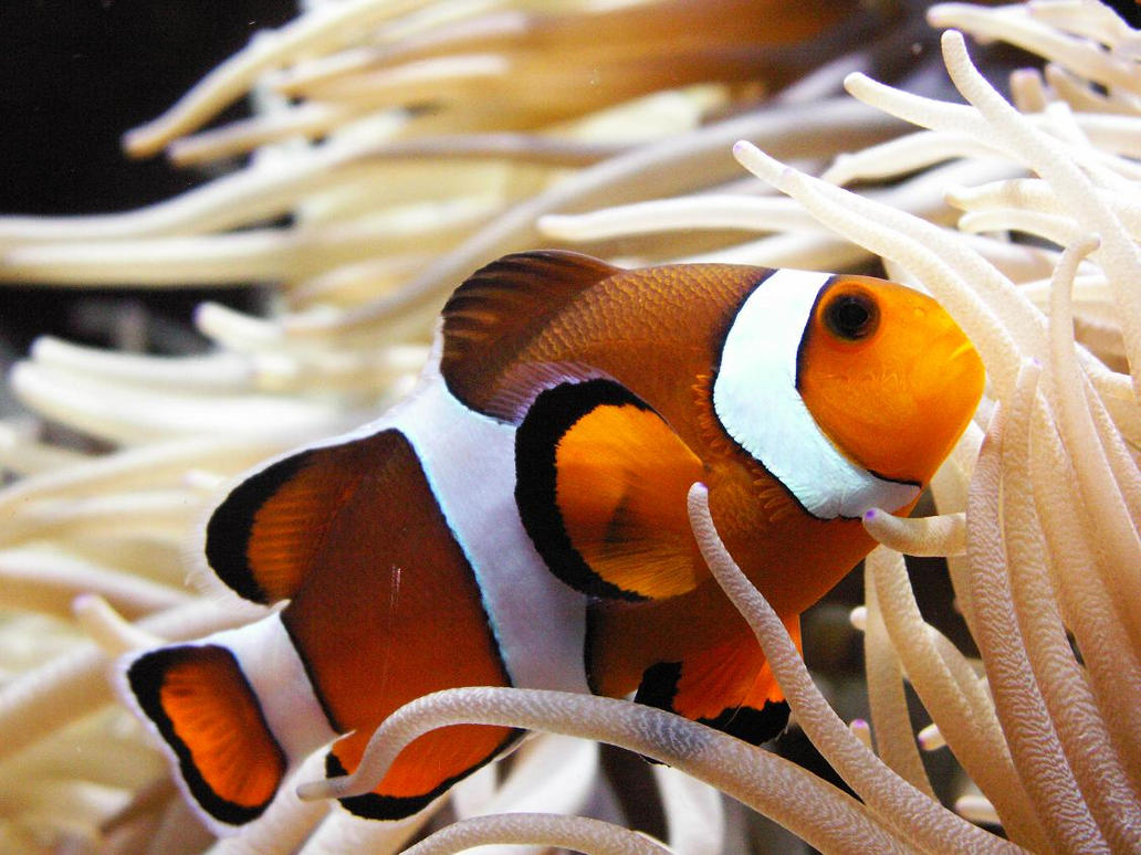Nemo fish by raijana on deviantart for What kind of fish is nemo