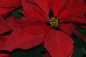 Christmas Poinsettias by Maeve09