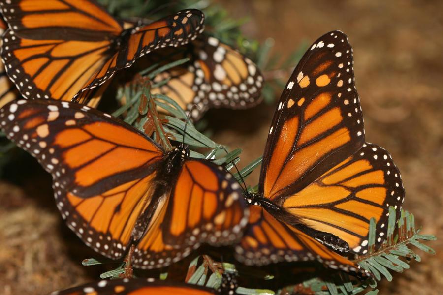 Monarchs Unalive by Maeve09