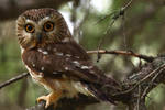 Northern Saw-whet Owl by kperensovich