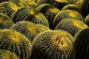 Golden Barrel Cacti by par-a-bola