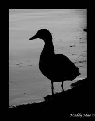 Shadow Duck