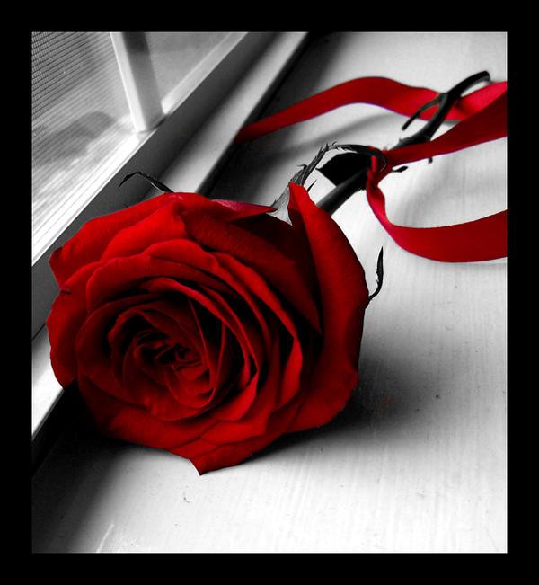 Rose by shutter-bug664