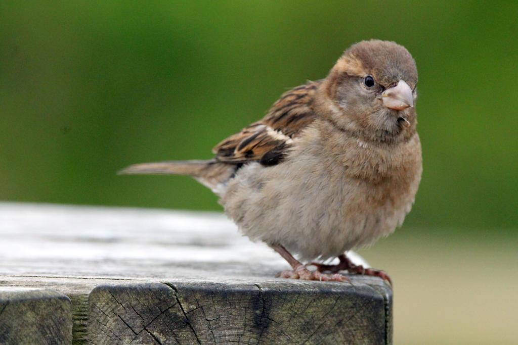 Little Sparrow by 53kshun8