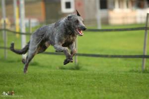 Deerhound by Wolfruede