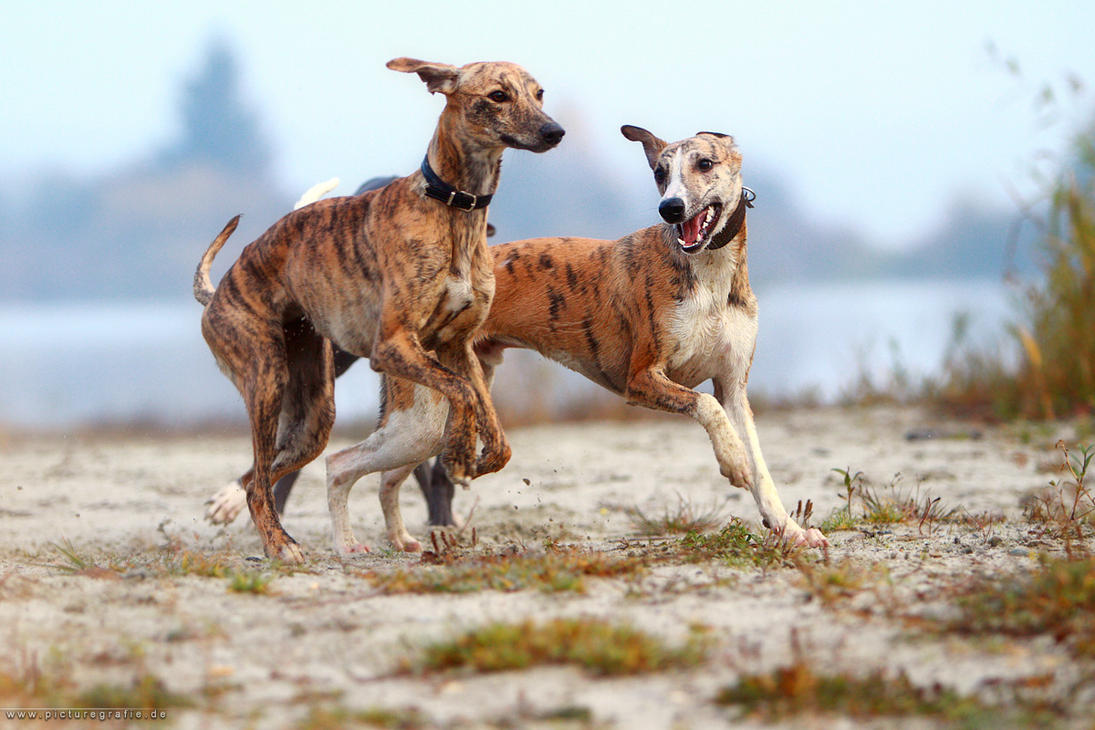 Whippets by Wolfruede