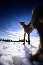 Deerhound on wide-angel by Wolfruede