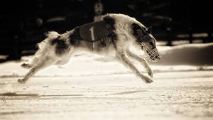 Borzoi - snow coursing by Wolfruede