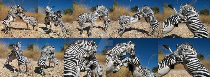 Cape Mountain zebra stallions