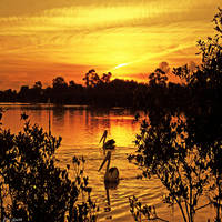 Peaceful Pelicans