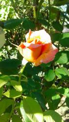 Peachy Summer Rose Stock