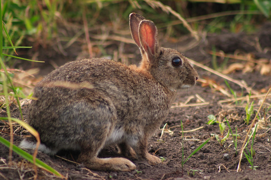 wild rabbit chase meaning