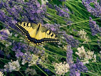 Papilio machaon on lavender