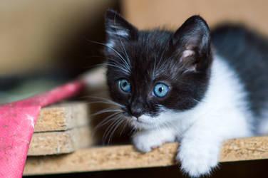 Blue eyed kitty