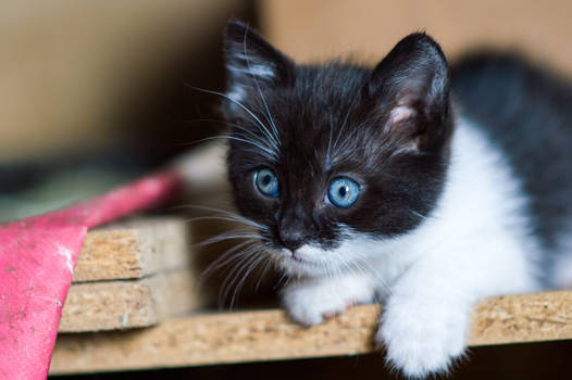 Blue eyed kitty