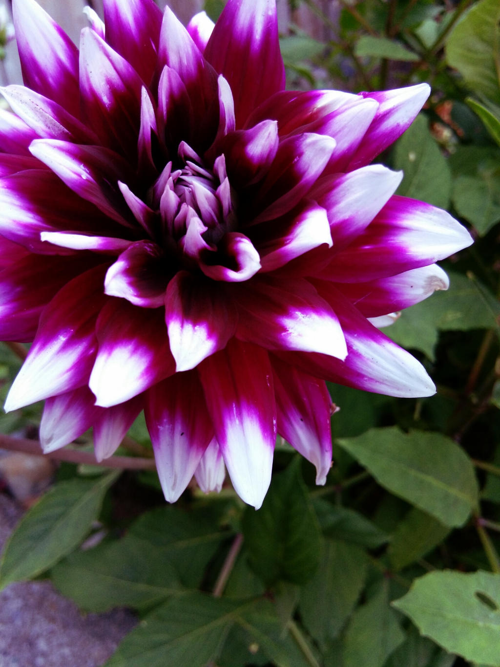 beautiful ombre purple and white flower by pizzasmiles on