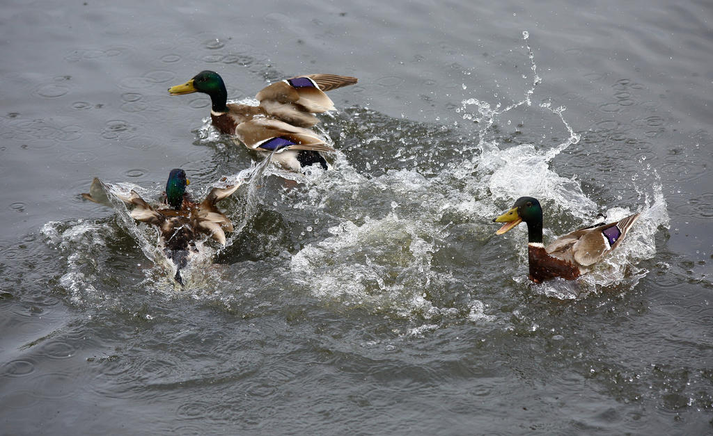 Ducks at play by kb3449