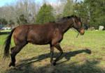 Ears back bay horse trotting