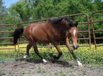 Arabian trot