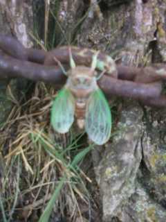 Cicada ^_^ by keira97