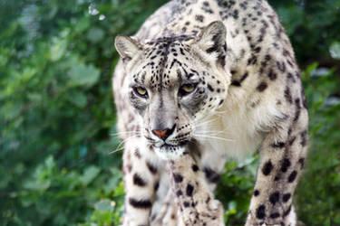 Snow Leopard 2 by rosswillett