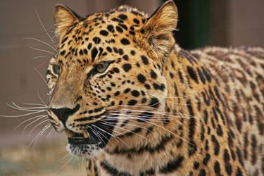 Amur Leopard by rosswillett
