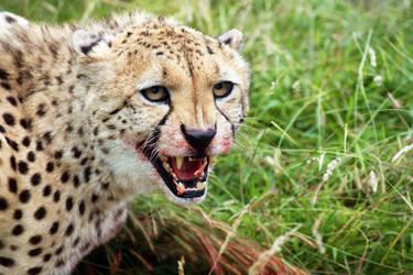 Cheetah by rosswillett