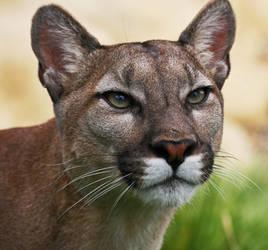 Puma by rosswillett
