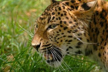 Chinese Leopard by rosswillett