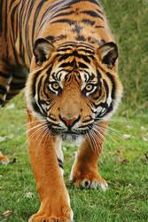 Tiger 2 by rosswillett