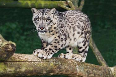 Snow Leopard 3 by rosswillett