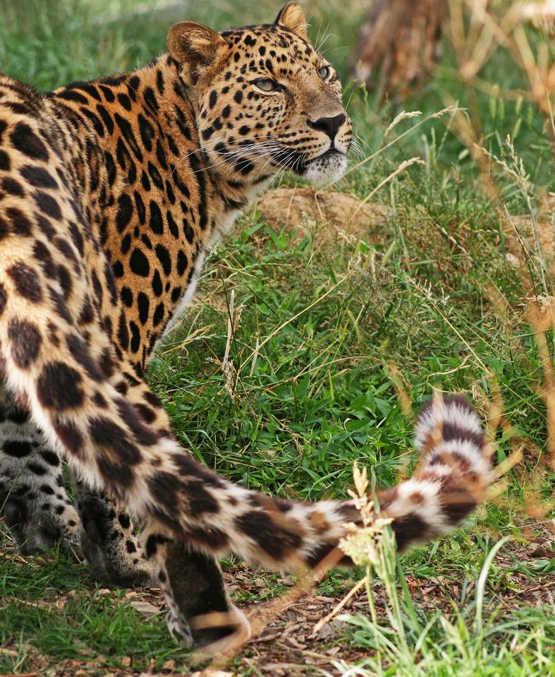 Amur Leopard 3 by rosswillett
