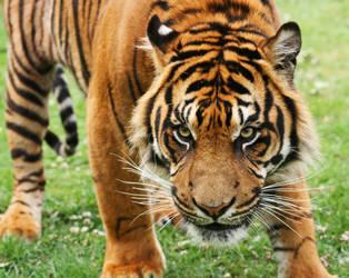 Tiger 3 by rosswillett
