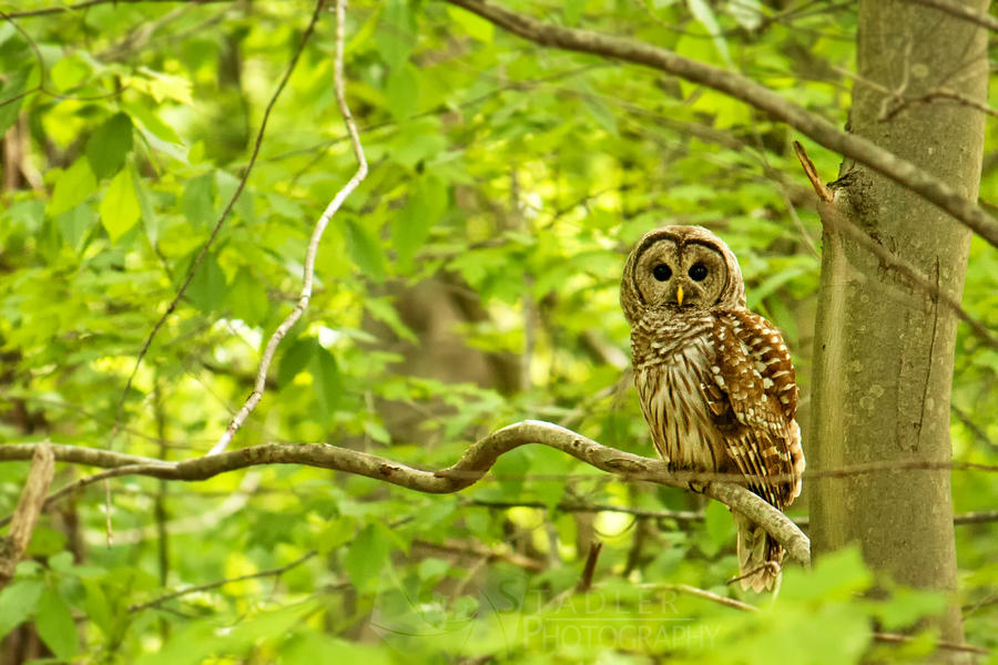 Barred Owl by shaguar0508