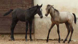 Roan + black lipizzan foal 1 by SelvaStock