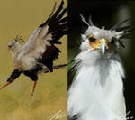 Secretary Birds Photo Studies
