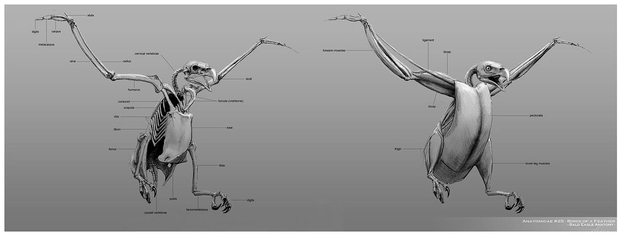 Bald Eagle Anatomy by TwoDD
