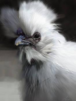 Silky Chicken Study
