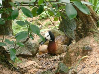 Hong Kong Ocean Park Duck by letrainfalldown