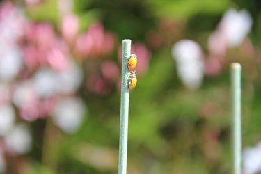 Ladybug 3 by letrainfalldown