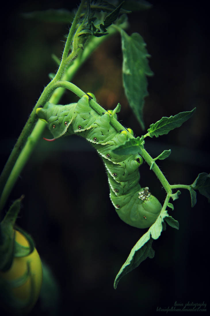 Leaves of Green... {Hornworm Caterpillar} by letrainfalldown