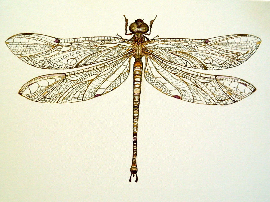 Pinned Dragonfly by Arboris-Silvestre on DeviantArt