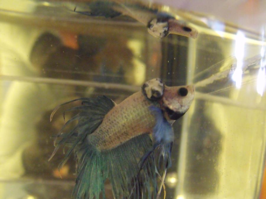 Sick betta 5 by khanisha chibi on deviantart for Betta fish sick