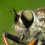 Robber fly VII by Dark-Raptor