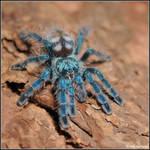 Lil blue jewel